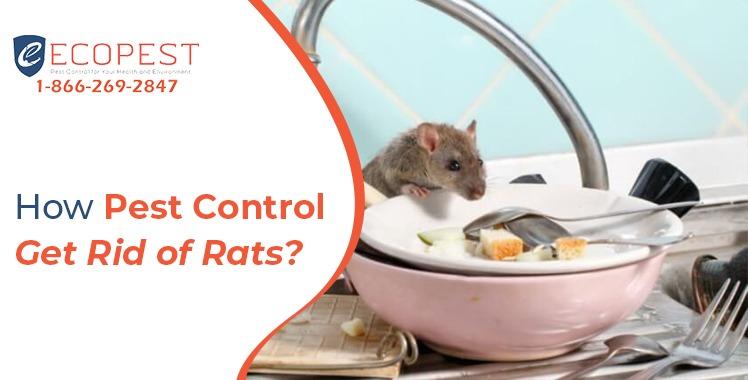 How Pest Control get Rid of Rats
