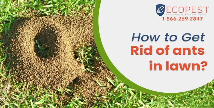 How to get rid of ants in lawn