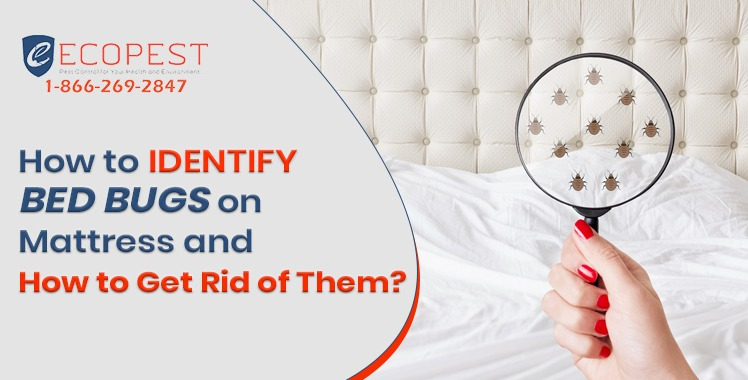 How to Identify Bed bugs on Mattress and How to Get Rid of Them?
