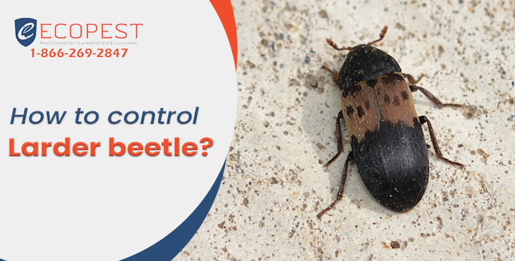How to control Larder beetle